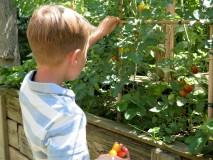 ...raccogliere i pomodori dall'orto!!!